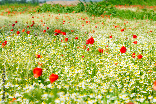 Plexiglas Geel Red poppy on a meadow with a lot of white daisies or chamomile and cornflower in golden sunlight, abundance wild flower background with copy space, selected focus, narrow depth of field