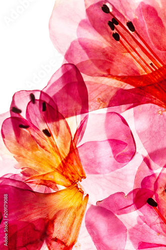 azalea flowers on the white - 209179088