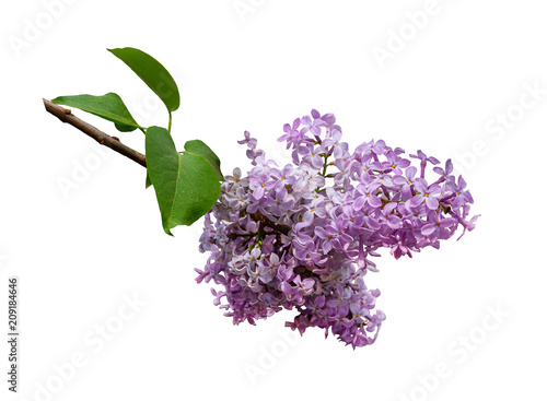 Lilac branch isolated on white background. Design element.