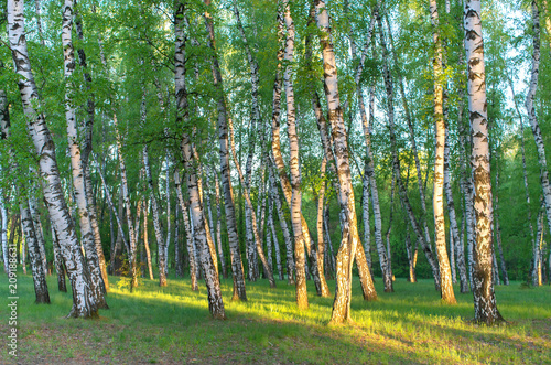 Plexiglas Berkenbos birch grove in the rays of the sun in the early morning, horizontal composition