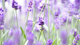 Lavender flowers blooming which have purple color and good fragrant for relaxing in summer. - 209189288
