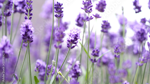Lavender flowers blooming which have purple color and good fragrant for relaxing in summer. - 209189278