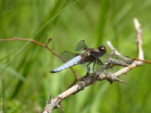 Foto Murales big blue dragonfly is sitting on a branch