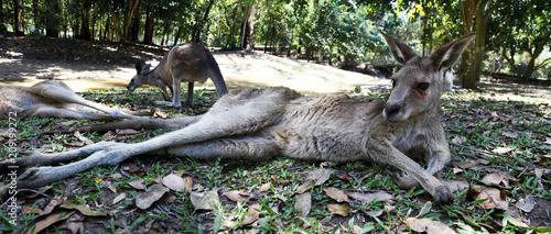 Plexiglas Kangoeroe Kangaroo