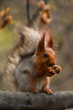 A beautiful squirrel sitting on a tree branch in a spring forest. Close-up of a rodent. - 209202833