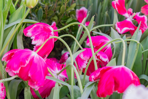 Fotobehang Roze field of blooming colorful tulips, spring flowers in the garden