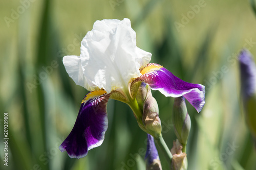 Purple and white Iris blooms on a beautiful spring day