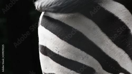 zebra waving tail