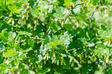 Yellow flowers of golden currant - 209233824
