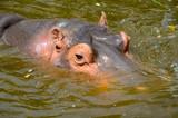 Flusspferd; Nilpferd; Hippopotamus amphibius; - 209234667