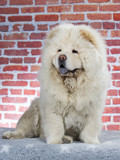 Chow chow portrait. Image taken in a studio with red brick wall as a background  - 209236040