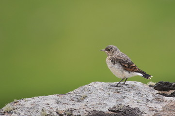 Juvenile Whinchat Sitting on Rock on Green Background