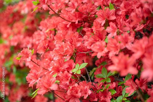 Fotobehang Azalea ヤマツツジの花