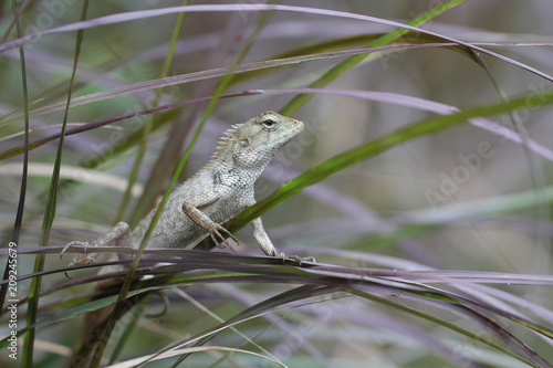 Fototapeta Green chameleon stand holding on tree leaf in the jungle, small lizard dragon hunting insect for food, animal wildlife backgrounds