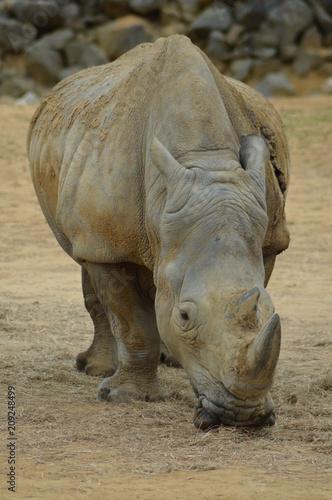 Poster Rhino