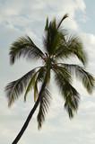 Palm Hawaii