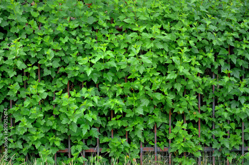 Fence in the park overgrown with green ivy. - 209252674