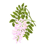 Locust tree twig with leaves and flowers vintage vector illustration editabe hand draw - 209254620