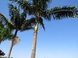 Palmeira - 209256269