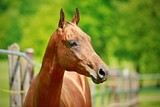 Close up portrait of young aristocratic reddish Akhal-Teke horse breed from Turkmenistan with shining hair standing on a sunny day in paddock, blurry green trees in background, farming - 209262884