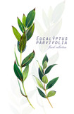 Botanical illustration. Postcard card with twigs of eucalyptus parvifolia. Imitation of watercolor. Drawing with alcohol markers. - 209268079