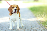 Beagle dog with leash standing in the park - 209268289