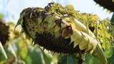 Helianthus annuus Girasole Подсолнечник однолетний ヒマワリGirasol Słonecznik zwyczajny Sonnenblume video Sunflower دوار الشمس Tournesol - 209268679