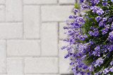 Flowering lavender on the background of paving slabs. Copy space. - 209268833