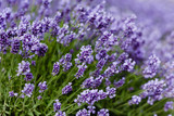 Meadow of blossoming lavender. - 209268846