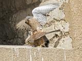 Mating a pair of kestrel falcon - 209272245