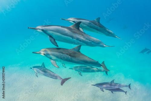 Fototapeta Dolphin pod swimming over sand
