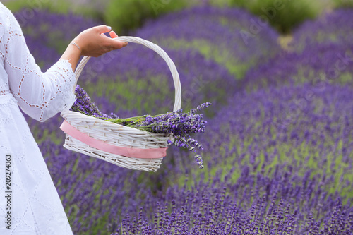 a girl dressed in white gathers a basket of lavender flowers from a field - 209274863