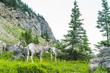 big horn sheep at Glacier national park,Montana,usa.