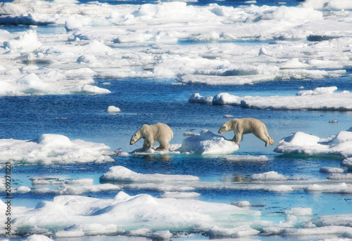 Fotobehang Ijsbeer Wild Polar Bear yearling cubs jumping across the ice in the High Arctic of Svalbard, Norway