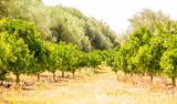 Sicilian Crops