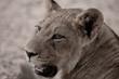 Kalahari Cub
