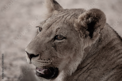 Fotobehang Lion Kalahari Cub