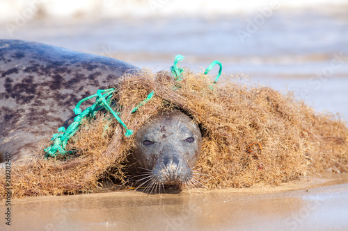 Plastic marine pollution. Seal caught in tangled nylon fishing net. Curious animal engages with the net but becomes entangled.
