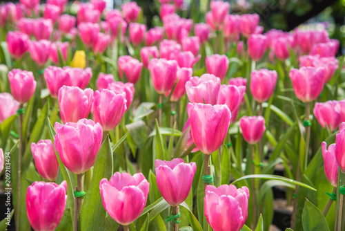 Plexiglas Candy roze image of Pink tulips Flower. Beautiful tulips bouquet colorful in the garden