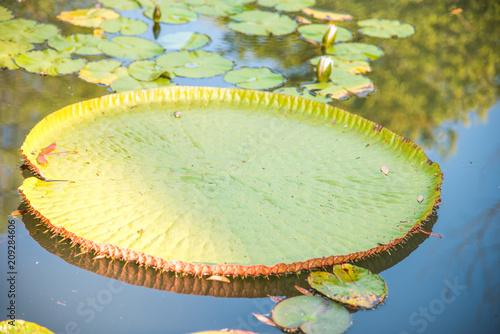 Leinwanddruck Bild image of Giant Victoria lotus in water , Victoria waterlily, amazonica