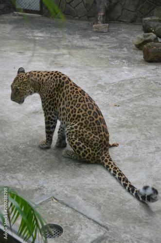 Poster leopard