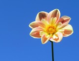Anemone flower in bloom - 209291850