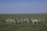 Herd of Zebra on the savanna in Namibia
