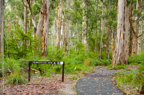 Foto Murales Karri Trees in Gloucester National Park - Pemberton - Australia