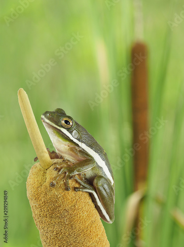 Fotobehang Kikker Closeup of a Squirrel Treefrog on a Cattail at the Edge of a Marsh