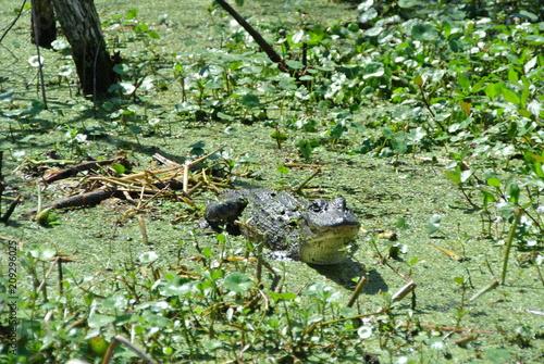 Fotobehang Kikker Aligator