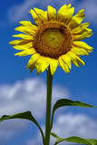 close up of a one bright sunflower with a sky background