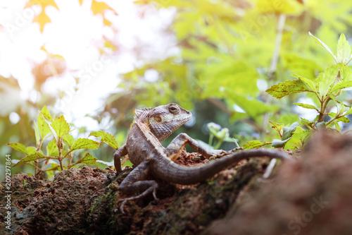 Aluminium Kameleon Brown color chameleon on the natural background.