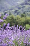 Sunset over a violet lavender field  - 209298452