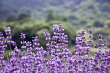 Sunset over a violet lavender field  - 209298455